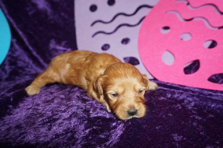 Bunny Love Female CKC Malshipoo $2000 Ready 5/21 HAS DEPOSIT 1.2lbs 2wk3days