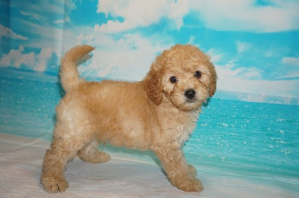 Dr Pepper (Bucky) Male CKC Mini Labradoodle $2000 Ready 5/3 SOLD MY NEW HOME ST JOHNS, FL 3.5 Lbs 7W3D Old
