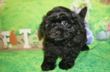Eric Male CKC Morkipoo $1750 Ready 4/3 HAS DEPOSIT MY NEW HOME MacCLENNY, FL 2.7 lbs 7 WKS Old