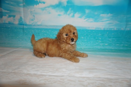 Fanta (Molly Grace) Female CKC Mini Labradoodle $2000 Ready 5/3 SOLD MY NEW HOME JACKSONVILLE, FL 3 Lbs 7W3D Old