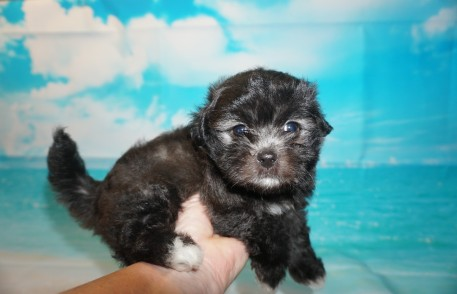 Grace (Phoenix) Female CKC Malshipoo $1750 Ready 4/30 SOLD MY NEW HOME JACKSONVILLE, FL 2 Lbs 8 wks old