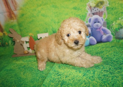 Lilo (Mazie) Female CKC Mini Labradoodle $2000 Ready 4/6 SOLD MY NEW HOME IS JACKSONVILLE, FL 2.3 lbs 7W2D Old