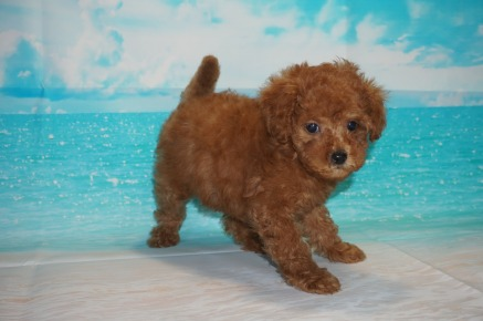 Pepsi (Ginger Rose) Female CKC Mini Labradoodle $2000 Ready 5/3 HAS DEPOSIT MY NEW HOME FLEMING ISLAND, FL 2.2 lbs 7W3D Old