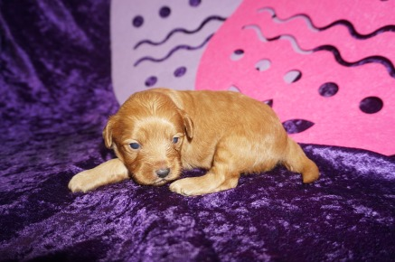 Peter Rabbit Male CKC Malshipoo $2000 Ready 5/21 AVAILABLE 1.4 lbs 2WK3D Days Old