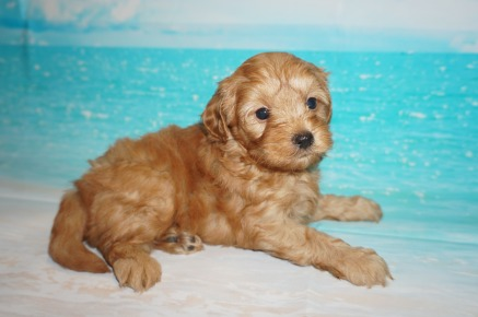 Peter Rabbit Male CKC Malshipoo $2000 Ready 5/21 SOLD 2.2 lbs 5 Wks Old