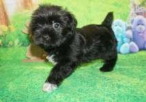Prince Charles Male CKC Shorkie $1750 Ready 4/6 HAS DEPOSIT MY NEW HOME ORANGE PARK, FL 2 lbs 7W3D Old