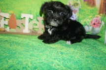 Prince Williams Male CKC Shorkie $1750 Ready 4/6 SOLD MY NEW HOME HILLIARD, FL 2.7 lbs 7W3D Old