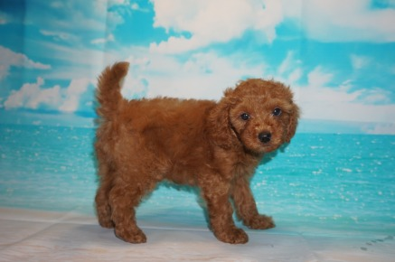 Red Bull (Coffee) Male CKC Mini Labradoodle $2000 Ready 5/3 SOLD MY NEW HOME ST AUGUSTINE, FL 3.4 Lbs 7W3D Old