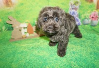 Sebastian Male CKC Morkipoo $2000 Ready 4/3 SOLD MY NEW HOME SAN DIEGO, CA 2.13 lbs 7w6d Old