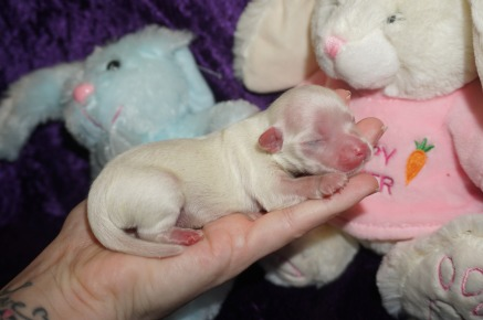 Smalls Male CKC Maltese $2000 Ready 6/1 AVAILABLE 3.5 oz 2 days old