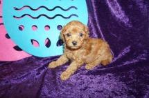 Snapple Female CKC Mini Labradoodle $2000 Ready 5/3 HAS DEPOSIT MY NEW HOME SEBASTIAN, FL 1.6 lb 5 weeks old