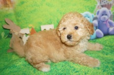 Stitch (Simba) Male CKC Mini Labradoodle $2000 Ready 4/6 SOLD MY NEW HOME SANTA ROSE BEACH, FL 2.14 lbs 7W2D Old