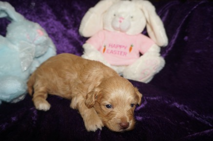 Toddy Female CKC Havapoo $2000 Ready 5/14 HAS DEPOSIT MY NEW HOME Oxford, MS 1.6 lbs 3 weeks old