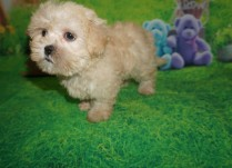 Ariel Female CKC Morkipoo $1500 Ready 4/3 SOLD MY NEW JACKSONVILLE, FL 2.2 lbs 7W6D Old