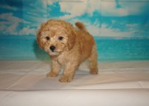 Cola (Kona) Female CKC Mini Labradoodle $2000 Ready 3/2 SOLD MY NEW HOME JACKSONVILLE, FL 2.11 lbs 7W3D Old