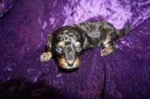 Dexter Male CKC Havapoo $2000 Ready 5/14 HAS DEPOSIT MY NEW HOME GREEN, OH 1.4 lbs 3 weeks old