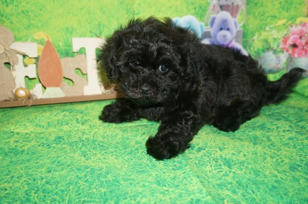 Eric Male CKC Morkipoo $1750 Ready 4/3 SOLD MY NEW HOME MacCLENNY, FL 2.7 lbs 7 WKS Old