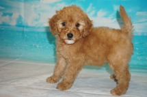 Fanta (Molly Grace) Female CKC Mini Labradoodle $2000 Ready 5/3 HAS DEPOSIT MY NEW HOME JACKSONVILLE, FL 3 Lbs 7W3D Old