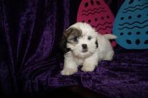 Georgia (Mia) Female CKC Teddy Bear $1750 Ready 4/13 HAS DEPOSIT MY NEW HOME ST AUGUSTINE, FL 3.7 lbs 8W3D Old