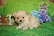 Honey Bun Female CKC Miki $2000 Ready 4/6 HAS DEPOSIT MOUNT GILEAD, OH 1.6 lbs 7 wks old