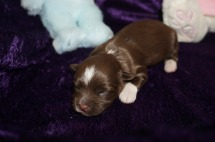 Nestle Quik Male CKC Havanese $2000 Ready 5/3 AVAILABLE 10.2 oz 3 Days Old