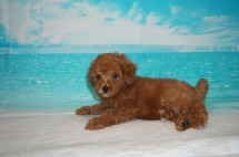 Pepsi (Ginger Rose) Female CKC Mini Labradoodle $2000 Ready 5/3 SOLD MY NEW HOME FLEMING ISLAND, FL 2.2 lbs 7W3D Old