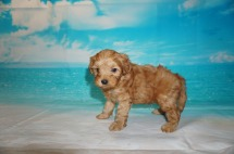 Peter Rabbit Male CKC Malshipoo $2000 Ready 5/21 SOLD MY NEW HOME ST AUGUSTINE, FL 2.2 lbs 5 Wks Old