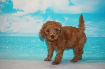 Red Bull (Coffee) Male CKC Mini Labradoodle $2000 Ready 5/3 HAS DEPOSIT MY NEW HOME ST AUGUSTINE, FL 3.4 Lbs 7W3D Old