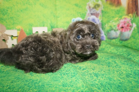 Sebastian Male CKC Morkipoo $2000 Ready 4/3 HAS DEPOSIT MY NEW HOME SAN DIEGO, CA 2.13 lbs 7w6d Old