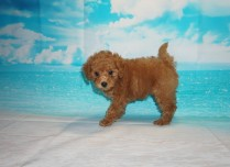 Snapple Female CKC Mini Labradoodle $2000 Ready 5/3 HAS DEPOSIT MY NEW HOME SEBASTIAN, FL 2.6 lbs 7W3D Old
