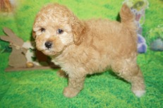 Stitch (Simba) Male CKC Mini Labradoodle $2000 Ready 4/6 HAS DEPOSIT MY NEW HOME SANTA ROSE BEACH, FL 2.14 lbs 7W2D Old