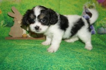 Tex Male CKC Shichon Teddy Bear $1750 Ready 4/13 SOLD MY NEW HOME ST JOHNS, FL 3 lbs 6W2D Old
