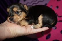 Twinkle Female CKC Havashire a/k/a Yorkinese $2000 Ready 5/25 AVAILABLE 14.9 oz 2W3D Old