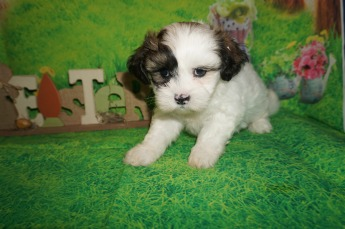 Bama Male CKC Shichon Teddy Bear $1750 Ready 4/13 SOLD MY NEW HOME ORANGE PARK, FL 3 lbs 6W2D Old