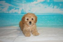 Cola (Kona) Female CKC Mini Labradoodle $2000 Ready 3/2 HAS DEPOSIT MY NEW HOME JACKSONVILLE, FL 2.11 lbs 7W3D Old