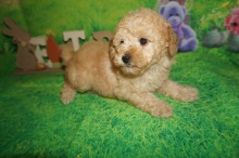 Lilo Female CKC Mini Labradoodle $2000 Ready 4/6 SOLD MY NEW HOME IS JACKSONVILLE, FL 2.3 lbs 7W2D Old