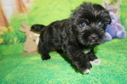 Prince Charles Male CKC Shorkie $1750 Ready 4/6 SOLD MY NEW HOME ORANGE PARK, FL lbs 7W3D Old
