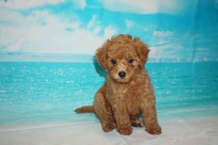 Snapple Female CKC Mini Labradoodle $2000 Ready 5/3 SOLD MY NEW HOME SEBASTIAN, FL 2.6 lbs 7W3D Old