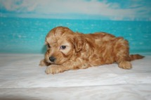 Bunny Love Female CKC Malshipoo $2000 Ready 5/21 SOLD MY NEW HOME DELRAY BEACH, FL 1.14 lbs 5 Wks Old