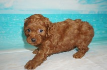 Candy (Ruby) Female CKC Malshipoo $2000 Ready 5/21 SOLD PALM COAST, FL 1.15 lbs 5 Wks Old