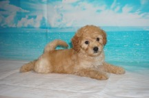 Dr Pepper (Bucky) Male CKC Mini Labradoodle $2000 Ready 5/3 HAS DEPOSIT MY NEW HOME ST JOHNS, FL 3.5 Lbs 7W3D Old