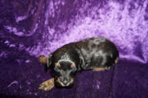 Egypt Female CKC Havapoo $1750 Ready 5/14 HAS DEPOSIT MY NEW HOME JACKSONVILLE, FL 1.4 lbs 3 weeks old