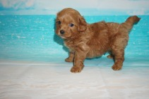 Jelly Bean Male CKC Malshipoo $2000 Ready 5/21 SOLD MY NEW HOME JACKSONVILLE, FL 1.9 lbs 5 Wks Old