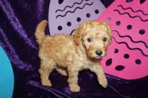 Nestle Male CKC Mini Labradoodle $2000 Ready 5/3 AVAILABLE 2.8 lbs 5 Weeks Old