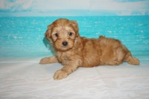 Peter Rabbit Male CKC Malshipoo $2000 Ready 5/21 SOLD 2.2 lbs 5wks Days Old