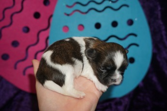 Squirt Male CKC Malshi $2000 Ready 5/24 AVAILABLE 10.9 oz 2W4D Old