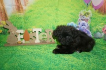 Twinkie Male CKC Miki $2000 Ready 4/6 HAS DEPOSIT MY NEW HOME CHELTENHAM, PA 2.2 lbs 7 wks old