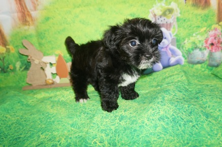 Prince Williams Male CKC Shorkie $1750 Ready 4/6 HAS DEPOSIT MY NEW HOME HILLIARD, FL 2.7 lbs 7W3D Old