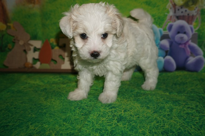 Small Breed  Hypoallergenic — Blogs, Pictures, and more on