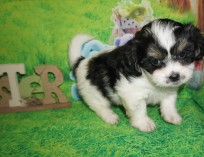 Tex Male CKC Shichon Teddy Bear $1750 Ready 4/13 HAS DEPOSIT MY NEW HOME ST JOHNS, FL 3 lbs 6W2D Old